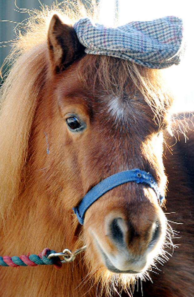 Lancaster And Morecambe Citizen: Red, the Shetland pony and Happa mascot dons his flat cap at Shore Hey Farm, Briercliffe, to celebrate Lancashire Day