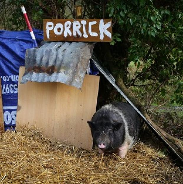 Lancaster And Morecambe Citizen: Porrick the pig grazes on land in Folkestone, Kent, as local people continue to care for her