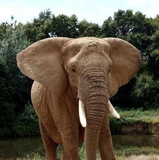 Lancaster And Morecambe Citizen: Thousands of elephants are slaughtered each year because of Chinese demand for ivory