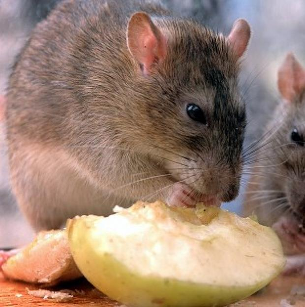 Lancaster And Morecambe Citizen: Rats could grow to be bigger than sheep as they evolve to fill vacant ecological niches, a geologist has claimed