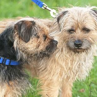 Lancaster And Morecambe Citizen: Two-year-old Border Terrier Lucky (left) with his father Scruff who acts as his son's guide dog as Lucky was born without retinas and has never been able to see (Nick McGowan-Lowe/PDSA/PA)
