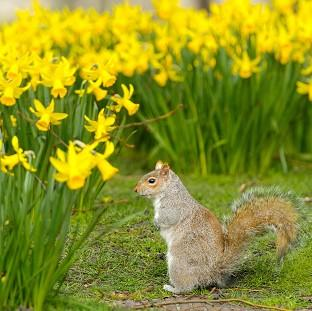 Lancaster And Morecambe Citizen: A grey squirrel forages amongst spring daffodils in St James' Park, central London