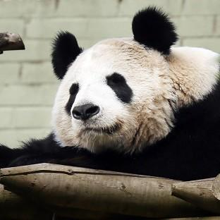 Lancaster And Morecambe Citizen: Experts at Edinburgh Zoo say female panda Tian Tian will soon be ready to mate