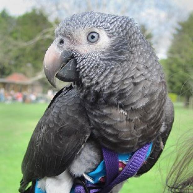 Lancaster And Morecambe Citizen: Wunsy the African grey parrot which saved his owner after she was pushed to the ground in a park.