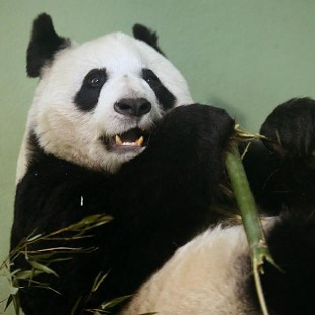 Lancaster And Morecambe Citizen: Tian Tian failed to mate naturally so has been artificially inseminated