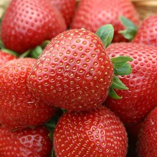 Lancaster And Morecambe Citizen: Weather conditions should ensure a bumper crop of strawberries this year.