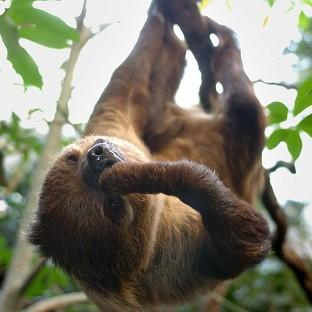 Lancaster And Morecambe Citizen: A sloth at London Zoo's Clore Rainforest environment