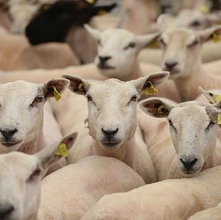 Lancaster And Morecambe Citizen: The ethics of the sheep experiments have been called into question by campaigners