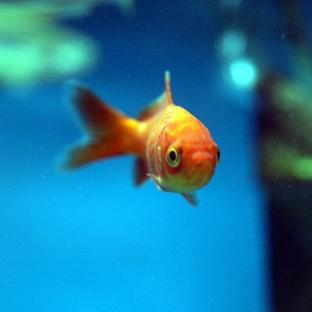 Lancaster And Morecambe Citizen: Two men will appear in court accused of eating two goldfish alive, after being charged under the Animal Welfare Act