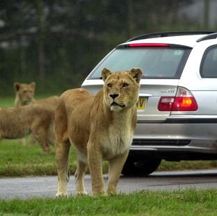Lancaster And Morecambe Citizen: Lions at Longleat safari park