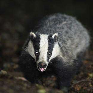 Lancaster And Morecambe Citizen: The badger cull policy is the subject of a new legal challenge