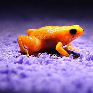 Lancaster And Morecambe Citizen: A golden mantella frog, which attracts a mate with clicks not croaks