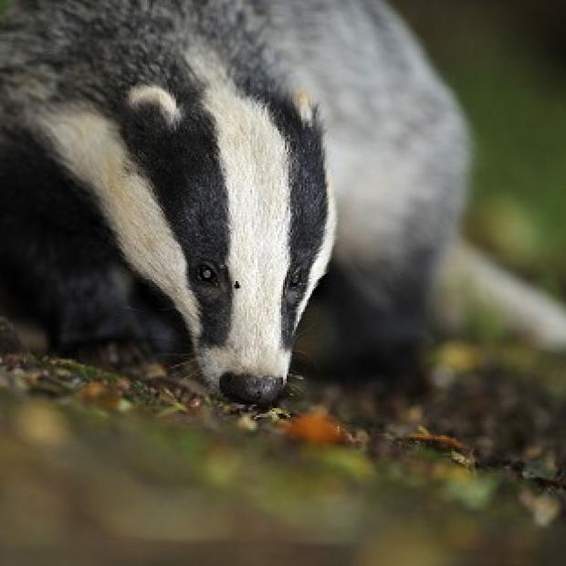Lancaster And Morecambe Citizen: The Badger Trust sought a court ruling to block a new cull in Gloucestershire and Somerset without an independent expert panel