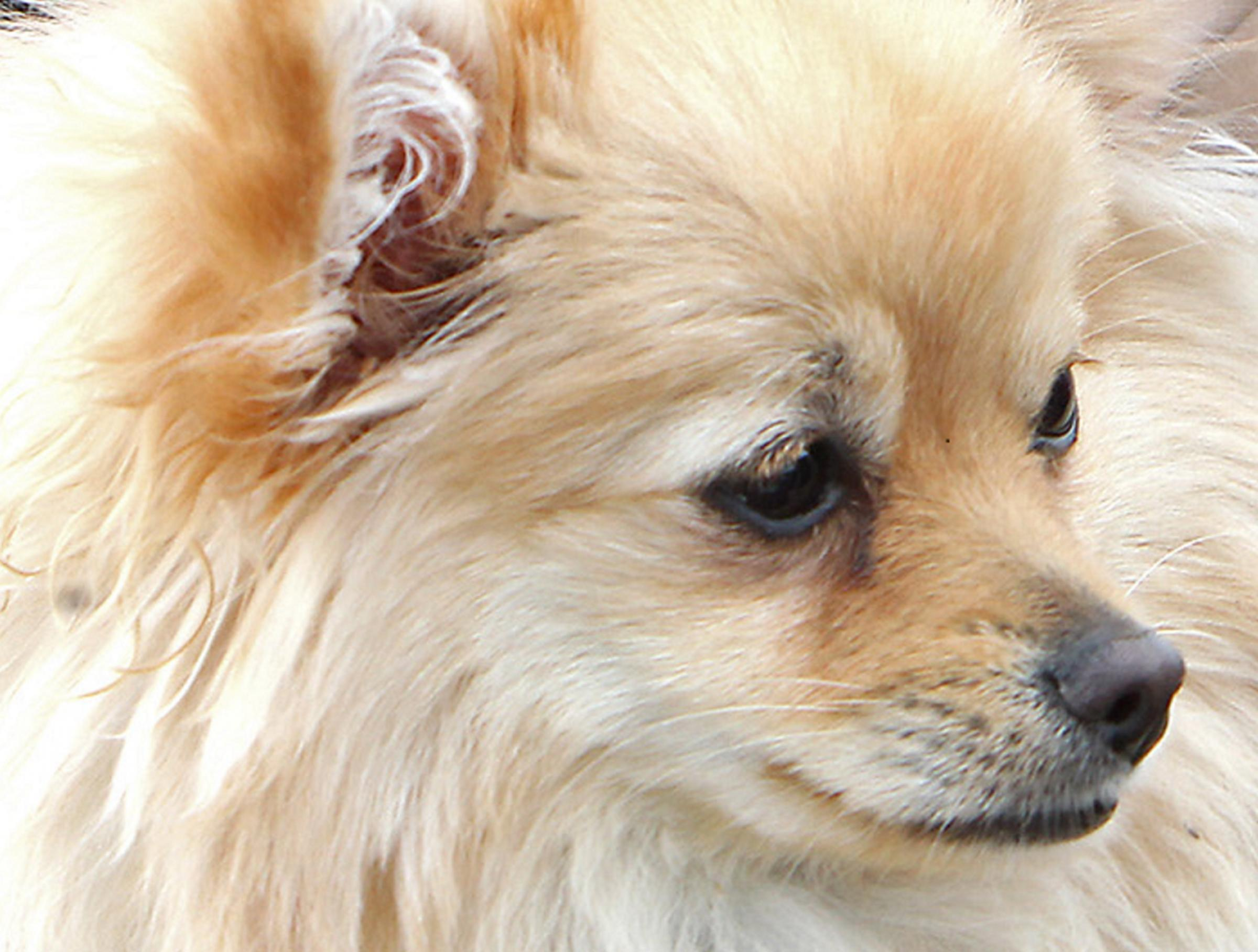 A pomchi similar to the one attacked