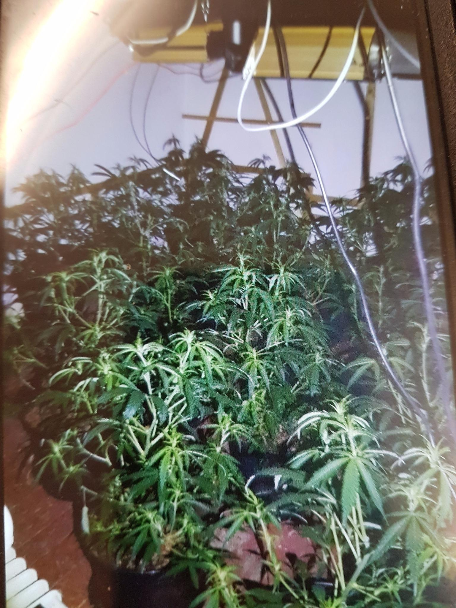A cannabis farm was found inside a property in Smith Street, Nelson, after the fire service were called to attend a flooding incident