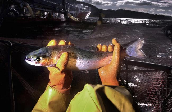 Recent library filer of a worker at a salmon farm on Loch Linnhe near Fort William. Outbreaks of sea lice and accusations that farmed salmon are artificially coloured and may contain PCBs and dioxins, have put the fish farm industry under severe pressure.